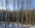 Birch trees. Royalty Free Stock Photography