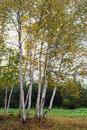 Birch trees during autumn Royalty Free Stock Photography