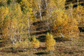 Birch trees in autumn golden colored saihanba forest park Stock Images