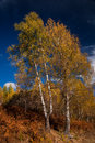 Birch trees in autumn several tall with its lush foliage turning yellow the fall Stock Photography