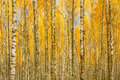 Birch Trees In Autumn Woods Forest. Yellow Foliage. Russian Fore Royalty Free Stock Photo