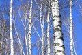 Birch trees on blue sky in early spring Royalty Free Stock Photo