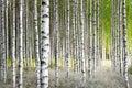 Betulla alberi