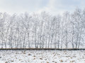 Birch Trees Covered With Snow