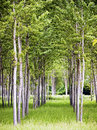 Birch trees at a farm Stock Image