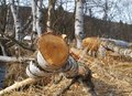 Birch trees felled by the beaver near the stream Royalty Free Stock Photo