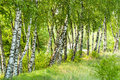 Birch trees forest in daylight lane of white birches and green grass Stock Images