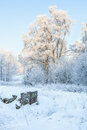 Birch trees with frost in winter Stock Photo