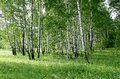 Birch trees with green foliage in a summer forest Stock Image