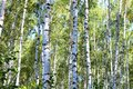 Birch trees with green leaves and white trunks in summer Royalty Free Stock Photo