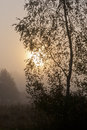 Birch trees in misty morning with sun sphere over forest horizon Royalty Free Stock Image