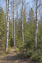 Birch trees in spring forest bare and anthill Royalty Free Stock Photography