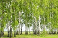 Birch trees in spring landscape with views of the blooming and field behind the Royalty Free Stock Photos