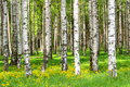 Birch trees in the spring park Stock Photography