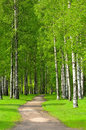 Birch trees in spring park Royalty Free Stock Photo