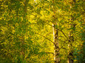 Birch trees  under bright sun Royalty Free Stock Photo