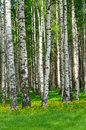 Birch trees in the wood in the spring Stock Image