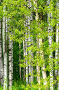 Birch trees in the wood spring Royalty Free Stock Photos