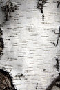 Birch trunk bark Royalty Free Stock Photo