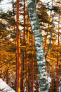 Birch trunk and pine trees in winter Stock Images