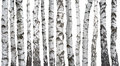 Birch trunks isolated on white Royalty Free Stock Photo