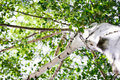 Birch view from below with leaves at the top Royalty Free Stock Photo