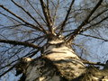 Birch view of the trunk and branches of a from the bottom up Royalty Free Stock Photo