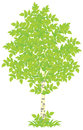 Birch white tree with green leaves vector illustration on a white background Stock Photos