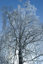 Birch in winter Stock Photography