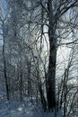 Birch in winter Stock Photo