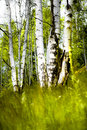 Birch wood Stock Photo