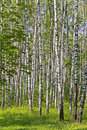 Birch wood Stock Images