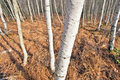 Birch wood (Betula) Stock Images