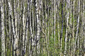 Birch wood forest dense of in the spring time Royalty Free Stock Images