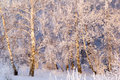 Birch wood in hoarfrost white frosty december Stock Photo