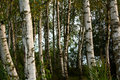 Birch wood in late summer Royalty Free Stock Photo