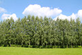 Birch wood nice green in summer and blue sky with fluffy white clouds Stock Photography