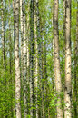 Birch wood in the spring trees Stock Image