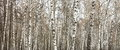 Birch wood in summer Royalty Free Stock Photo