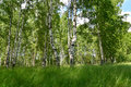 The birch wood. Summer landscape Royalty Free Stock Photo