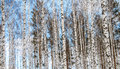 Birch wood in winter blue sky view Royalty Free Stock Image