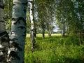 Birch woods Stock Photo