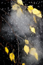 Birch yellow leaves under rain drops Stock Photos