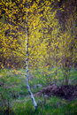 Birch young slim tree Royalty Free Stock Photo