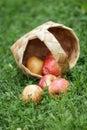 Birchbark basket full of gala apples Royalty Free Stock Photo