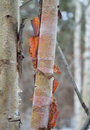 Birchbark colors Royalty Free Stock Photo