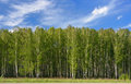 Birches Royalty Free Stock Photo