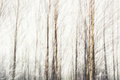 Birches Abstract