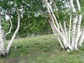 Birches alpine pastures in the the vegetation lush charactizing a fine spring day Stock Photos