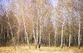 Birches (Betula) Royalty Free Stock Photo
